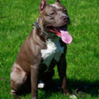 Dog_PitBull